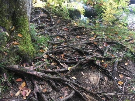 Lots of the trail in the 100-Mile Wilderness looked like this. I don't know what's up with Maine and all its roots, but there were a lot of them.